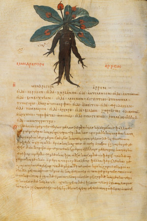 """A page from the Greek physician Dioscorides' five-volume pharmacopoeia """"De Materia Medica"""" (circa mid-10th century), on the mandrake root. (The Morgan Library & Museum/Art Resource, N.Y.)"""